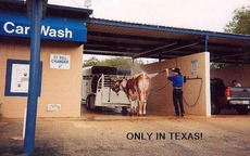 texas car wash - man cleans his cow