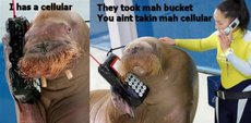 walrus on cell phone