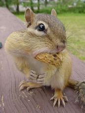 squirrel with a full mouth
